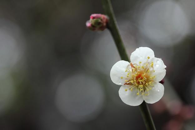 一日中雨の竹林園の梅