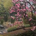 写真: 雨の中梅が咲きます