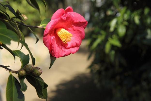 大きい花びらの椿