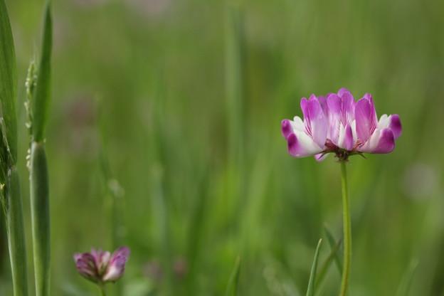 写真: 田んぼの蓮華草