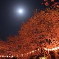 夜桜・・月夜・・ちょうちん