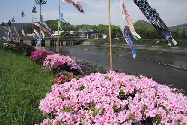Photos: 水俣川のつつじ・・これは満開
