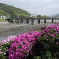 写真: 水俣川のつつじ・・こっち側は満開