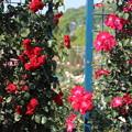 Photos: エコパークばら園