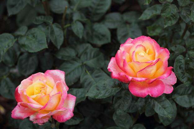 エコパークばら園・・いい形の薔薇は少ない