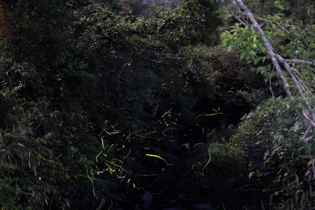茂川の蛍・・月明かりも