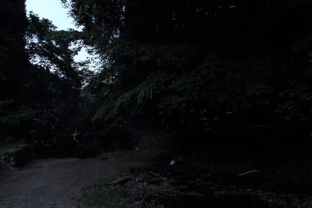 Photos: 茂川の蛍・・先週はまったくいなかった