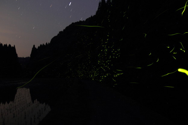 写真: 茂川の蛍