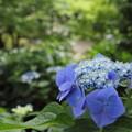 写真: 諏訪神社の紫陽花・・花がよく咲いてます