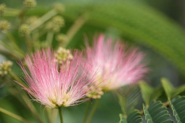 合歓の木の花
