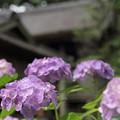 諏訪神社の紫陽花