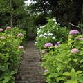 深川神社の紫陽花