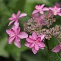 深川の紫陽花