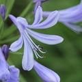 写真: アガパンサス(紫君子蘭(むらさきくんしらん))