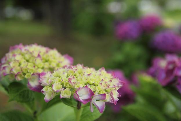 エコパークの紫陽花