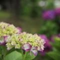 写真: エコパークの紫陽花