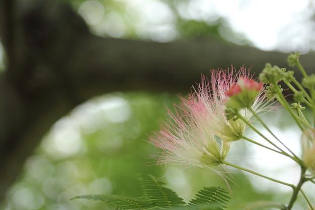 写真: 合歓の木の花