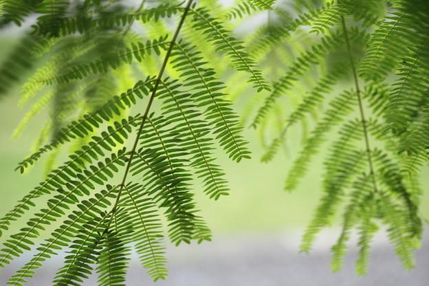 写真: 合歓の木