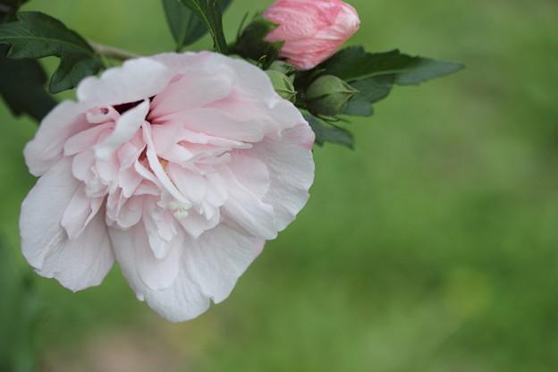 写真: 八重の木槿 (むくげ)