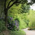写真: 竹林園の紫陽花