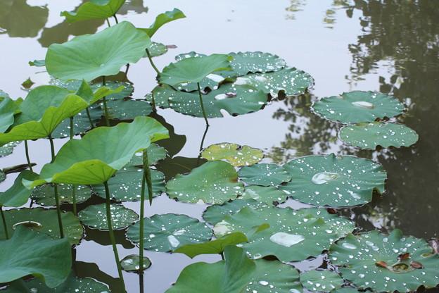雨の後の蓮