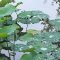写真: 雨の後の蓮