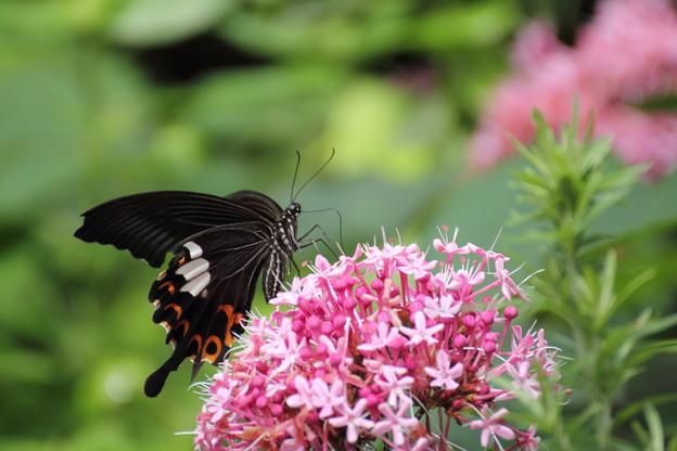牡丹臭木 (ぼたんくさぎ)と 蝶