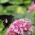 写真: 牡丹臭木 (ぼたんくさぎ)と 蝶