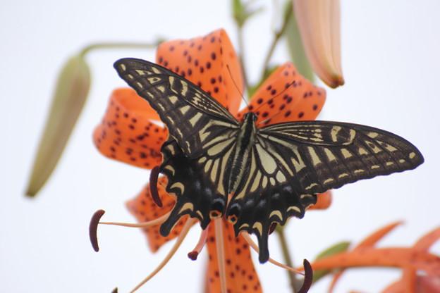 写真: 鬼百合に蝶