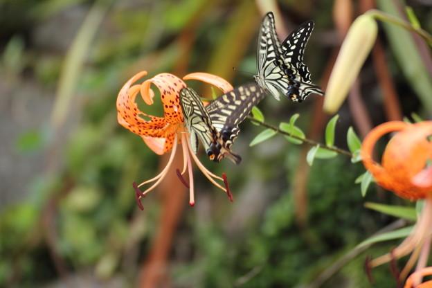 蝶1羽が邪魔に入る