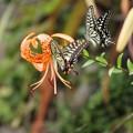 写真: 蝶1羽が邪魔に入る