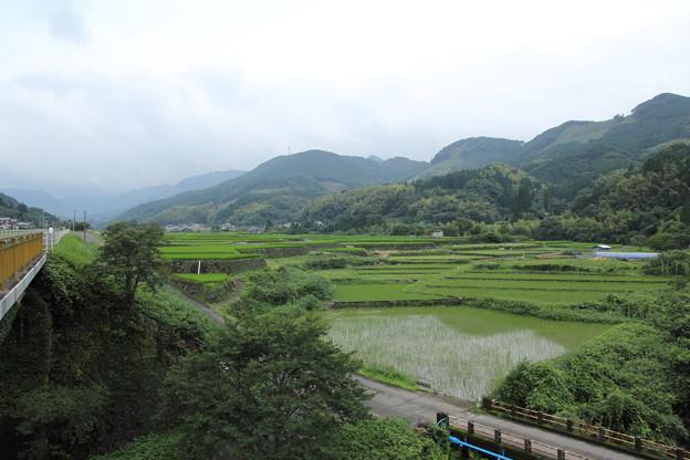 稲はすくすく成長してます