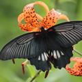 鬼百合 (おにゆり)と 蝶