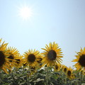 写真: 向日葵