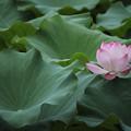 写真: 蓮・・葉の成長がすごい