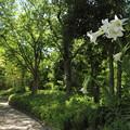 咲いてる花は高砂百合
