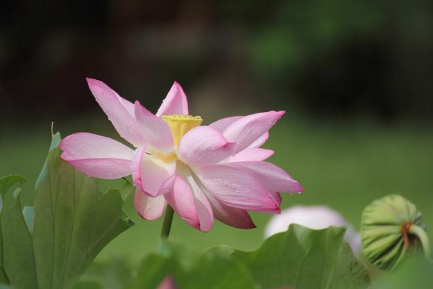 雨の後で花びらが変形