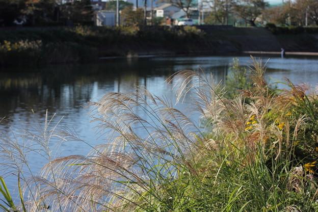 水俣川岸のススキ
