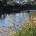 Photos: 水俣川岸のススキ