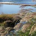写真: 水俣川岸のススキ
