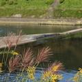 写真: 水俣川岸のススキとセイタカアワダチソウ