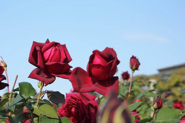 秋の薔薇・・エコパークばら園
