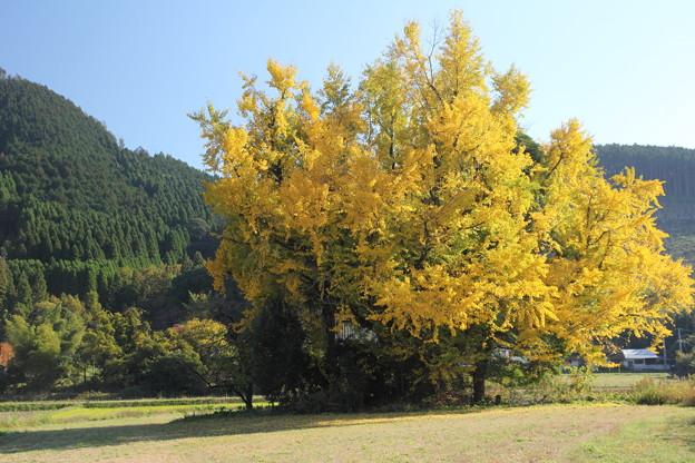 近くにあるイチョウの黄葉