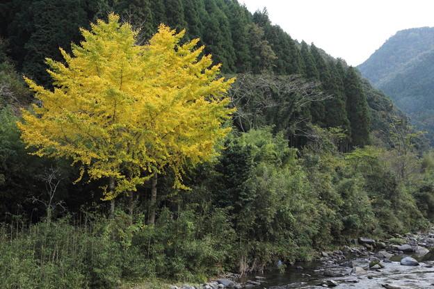 湯出川のイチョウの黄葉