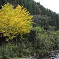 写真: 湯出川のイチョウの黄葉