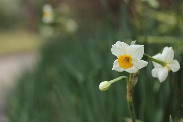 咲き出す水仙・・竹林園