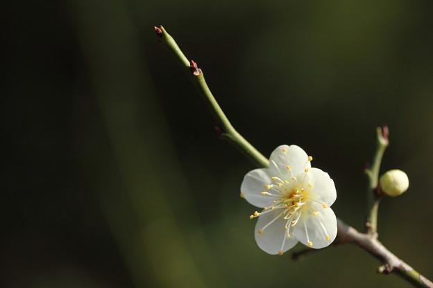Photos: 梅・・梅林園