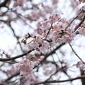 Photos: 早い何桜かわからない?