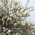 Photos: 白木蓮 (はくもくれん)・・竹林園