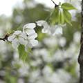 早い桜が咲いている